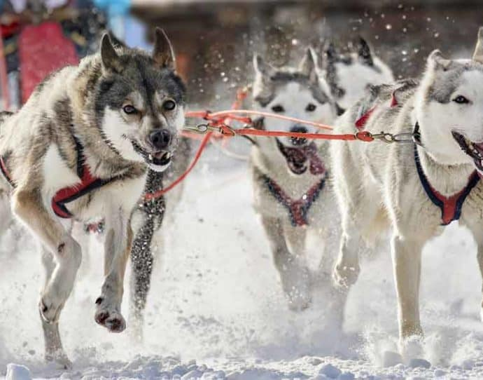 Husky sled dogs in the winter in Snowmass, Colorado